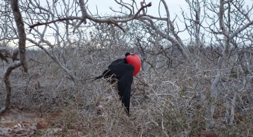 Magnificent Frigatebirds - Galápagos Islands, Ecuador
