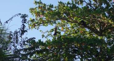 Beachside Howler Monkeys – Playa Junquillal, Costa Rica