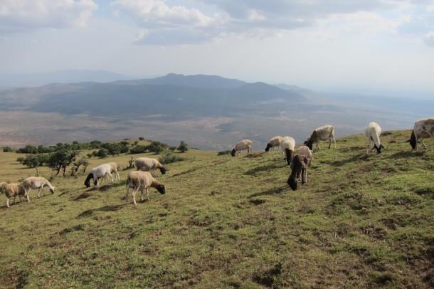 Grazing Animals at Ngong Hills – Nairobi, Kenya2