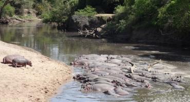 Hippopotamuses – Serengeti National Park, Tanzania