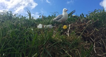 Red-billed Gulls – Otago Peninsula, New Zealand