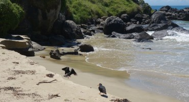 Variable Oystercatcher – Stewart Island, New Zealand