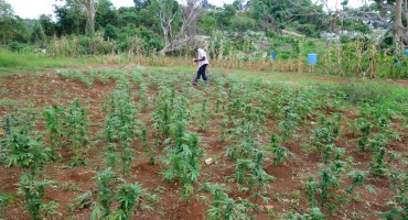 Ganja Farm - Westmoreland, Jamaica