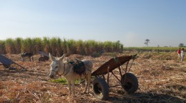 Sugar Cane Harvest – Luxor, Egypt