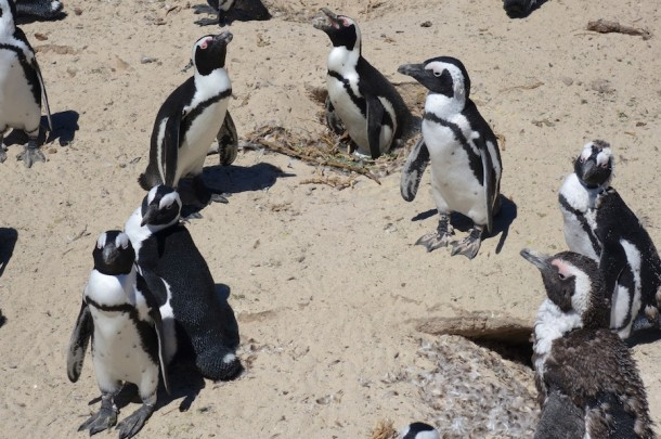 African Penguins – Boulders Beach, South Africa2